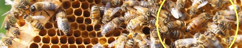 basiscursus bijen houden